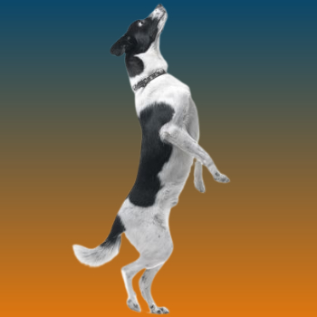 how to train a dog not to jump