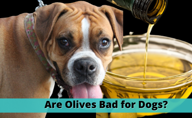 Are Olives Bad for Dogs