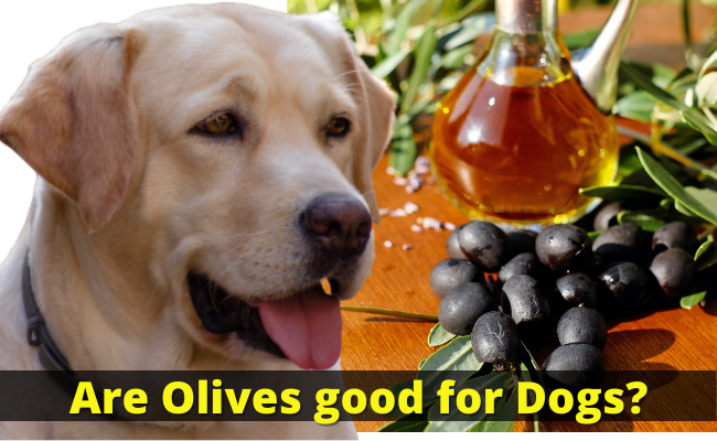 Are Olives good for Dogs