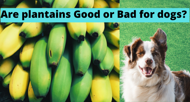 Are plantains Good for dogs | Are plantains bad for dogs