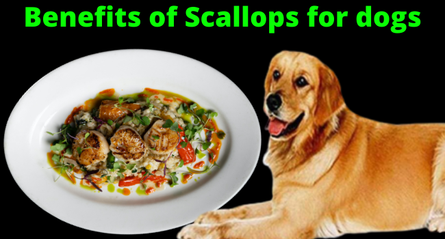 Benefits of Scallops for Dogs