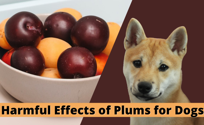 can dogs eat plums