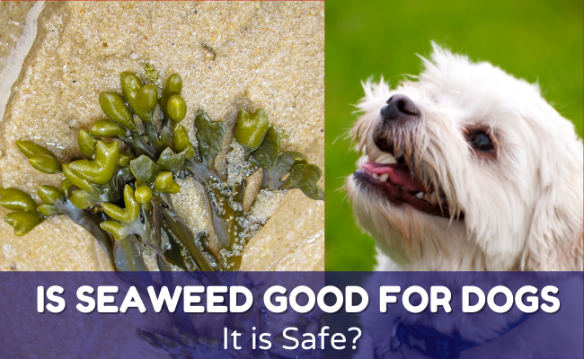 Is Seaweed good for dogs