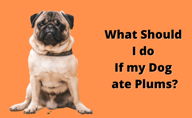 What Should I do If my Dog ate Plums