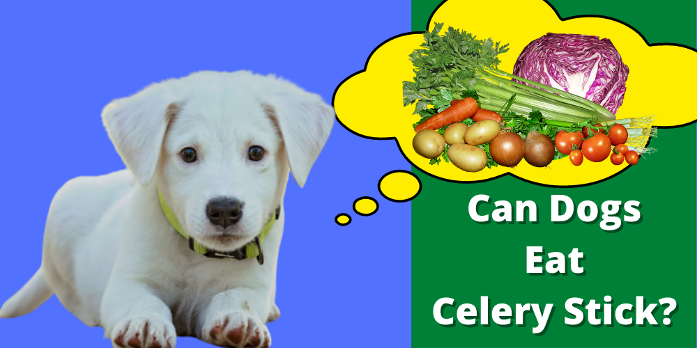 Can Dogs eat celery stick