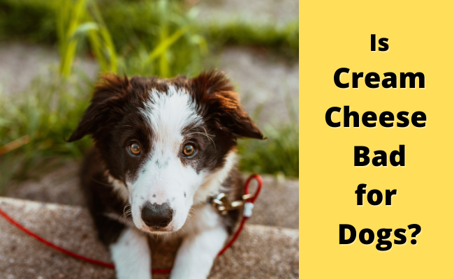 Is cream cheese bad for dogs