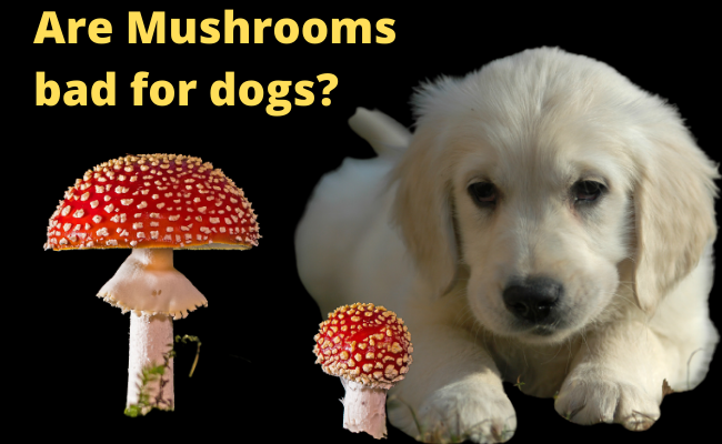 Are Mushrooms bad for dogs