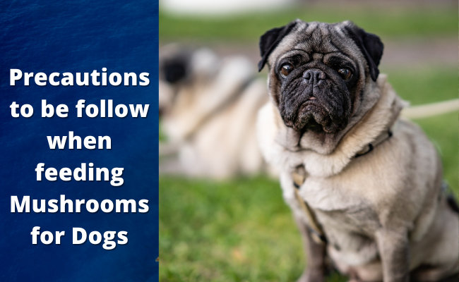 Precautions to be follow when feeding mushrooms for dogs