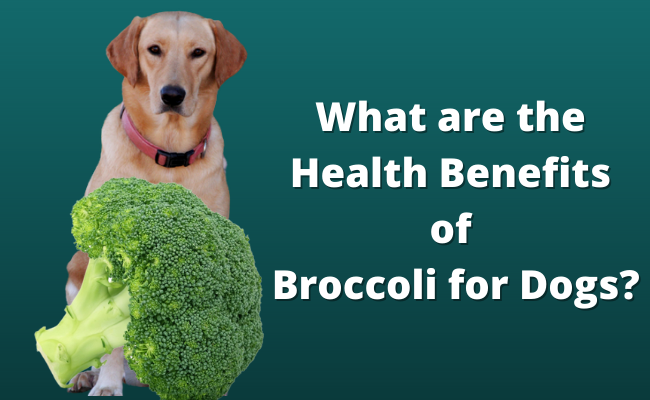 Health Benefits of Broccoli for Dogs