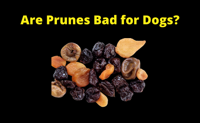 Are Prunes Bad for Dogs