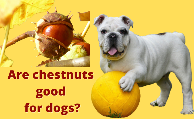 Are chestnuts good for dogs