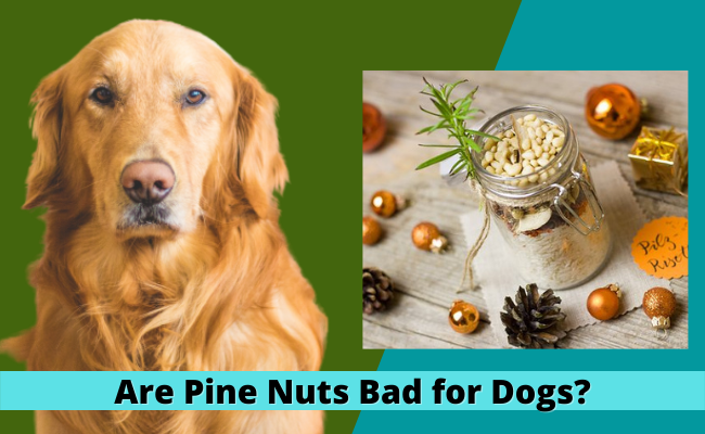 Are Pine Nuts Bad for Dogs