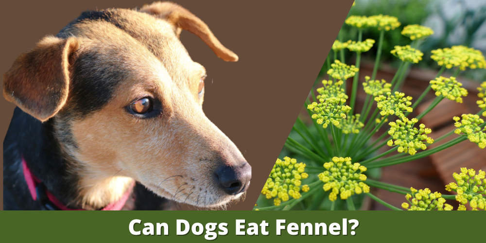 Can Dogs Eat Fennel