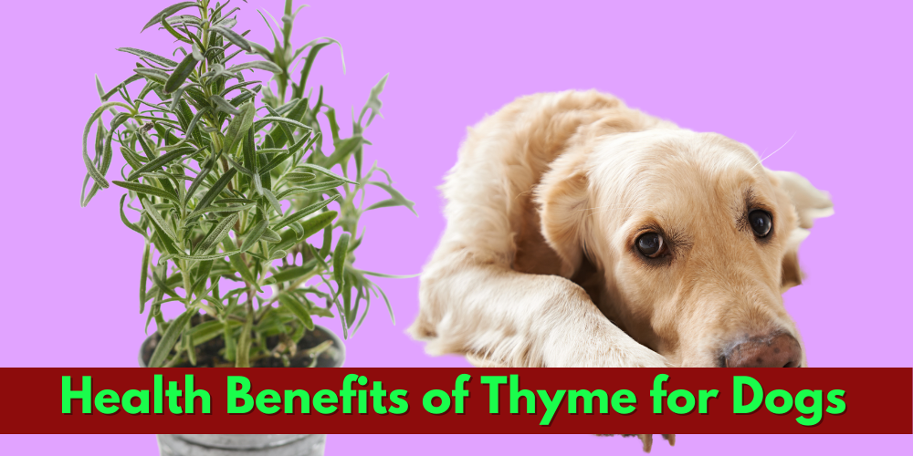 Can dogs have thyme
