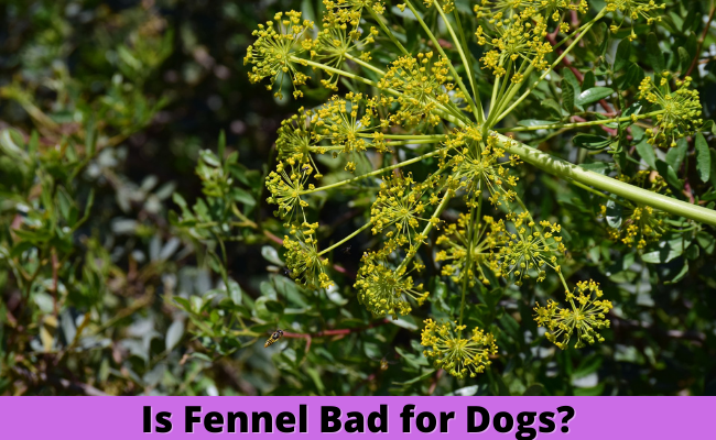 Is Fennel Bad for Dogs