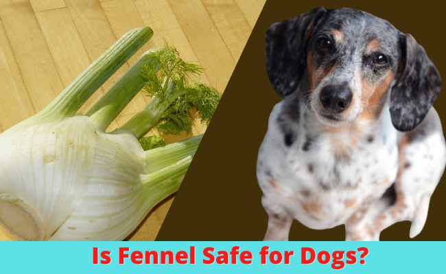 Is Fennel Safe for Dogs