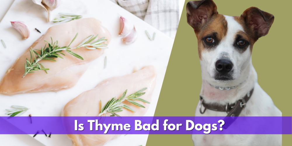 Is Thyme Bad for Dogs