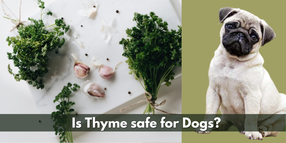 Is Thyme safe for Dogs