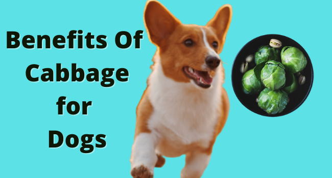 Can dogs eat cabbage   Benefits of Cabbage for dogs