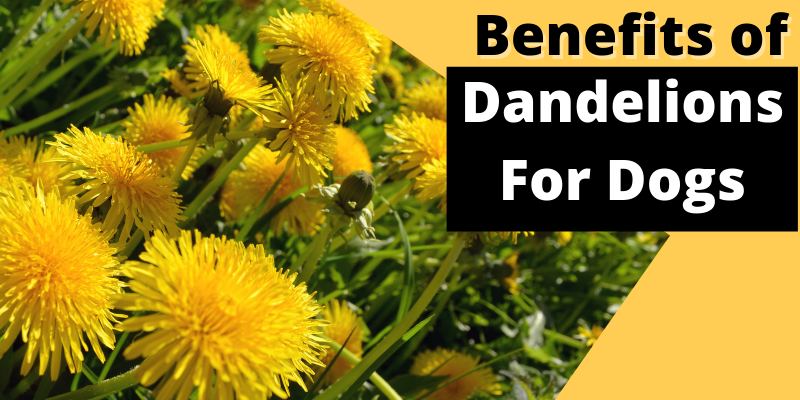 Benefits of Dandelions For Dogs