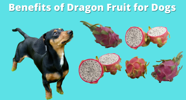 Benefits of Dragon Fruit For Dogs
