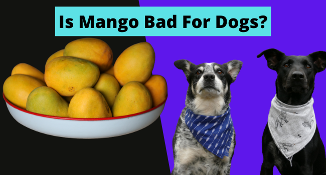 Is Mango Bad For Dogs