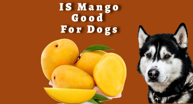 Is Mango Good For Dogs