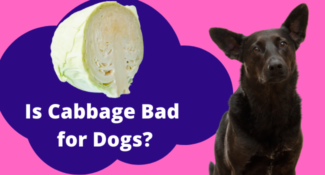 Is cabbage bad for dogs